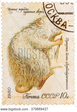 Ussr - Circa 1980: A Series Fur-bearing Animals Stamps Printed By The Ussr Shows Nutria White , Circ