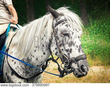 Saddled Cute White Pony With Black Spots