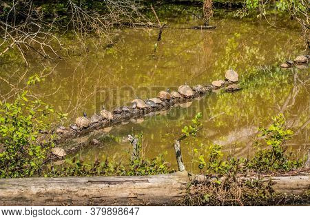 Several Different Shape And Sizes Of Turtles Sunbathing On A Log In The Water At The Wetlands On A W