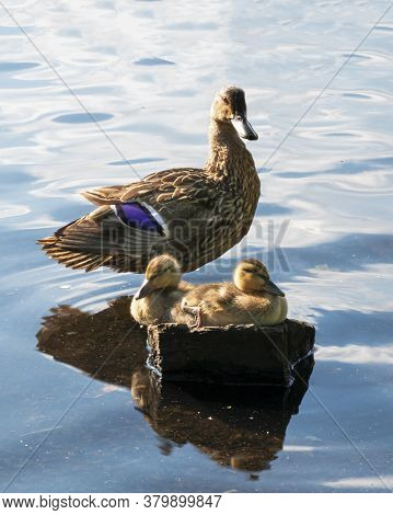 Two Mallard Duck Babies Sitting On A Rock In The Sunshine With Their Mother Standing Behind Them In