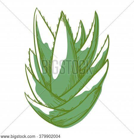 Aloe Bush Green Icon, Beautiful Succulent Plant