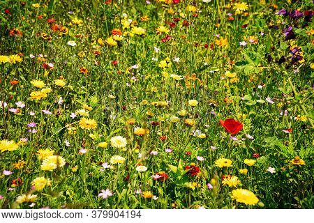 Summer Meadow With Colorful Wildflowers, Nature Of Uncultivated Meadow