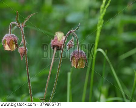 Flowers Geum Rivale On A Long Stem Close-up, Herbal Plant