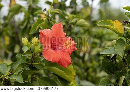 Beautifull Red Flower Blossom On Live Plant With Green Leaves. Red Camellia Theaceae Bloom With Repr
