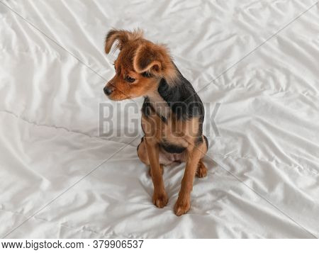 Toy Terrier, Close Up. Russian Toy Terrier Dog On A White Background.