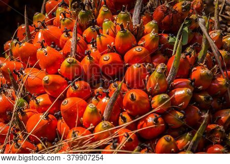 A Bunch Of Palm Oil Fruit - Fresh Fruit Bunch (ffb) Ready To Be Processed In Malaysia.