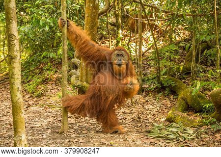An Orangutan In The Jungle Of Gungung Leuser National Park, Bukit Lawang, North Sumatra, Indonesia