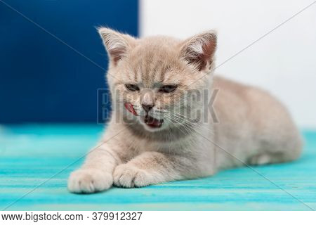 A Beautiful British Shorthair Kitten Lies On The Blue Wooden Floor And Licks Its Lips. Peach Color