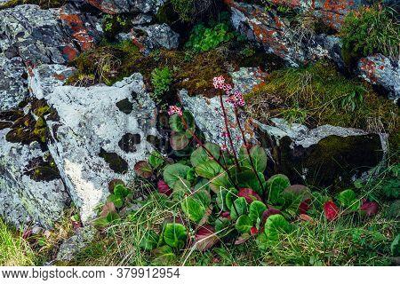 Beautiful Pink Flowers Of Bergenia Crassifolia Among Lush Greenery Close-up. Colorful Rich Mountain