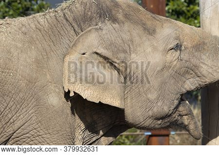 Close Up Of The Ear And Wrinkly Skin Of An Elephant