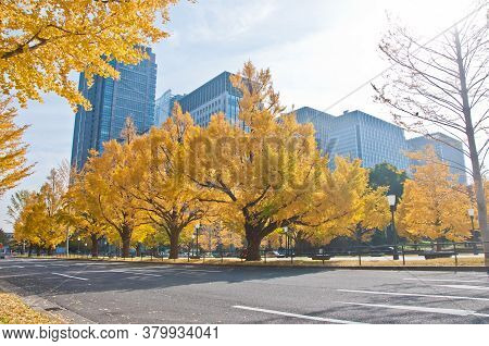 Golden Leaves Foliage Gingko Maidenhair Trees In Front Of High-rise Corporate Office Buildings In La