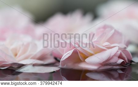 Pale Pink Rose Flowers And White Petals On The Water. For A Water Festival Or Spa