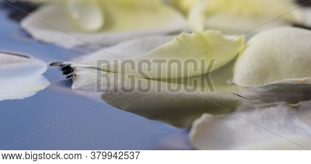 White Rose Petals On Blue Water. For A Water Festival Or Spa