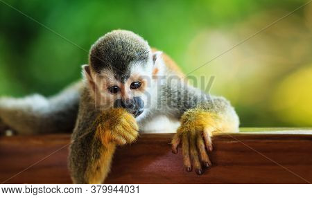 Squirrel Monkey Looking Straight Ahead, South American Little Ape Squirrel Monkey Looking For Someth