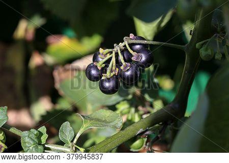 Black Nightshade Berries Ripen On The Bush