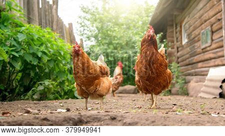 Various Chickens Wander On Yard Ground Between Green Bushes At Fence And Brown Wooden Village Buildi