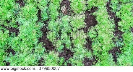 Small Green Dill Bushes Grow On Country House Vegetable Garden Beds At Bright Sunlight Close Upper V