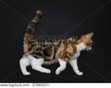 Pretty American Shorthair Cat Kitten With Amazing Pattern, Walking Side Ways. Looking Straight Ahead