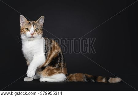Pretty American Shorthair Cat Kitten With Amazing Pattern, Sitting Side Ways. Looking Straight At Ca