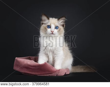 Impressive Seal Bicolor Ragdoll Cat Kitten, Sitting Half In Pink Velvet Bag. Looking At Camera With