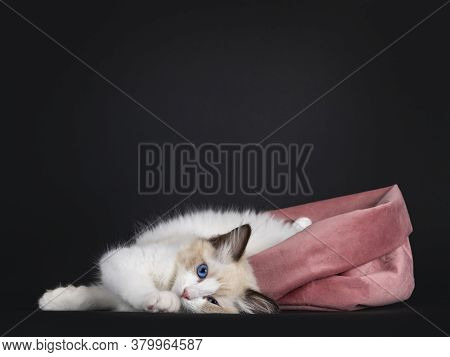 Impressive Seal Bicolor Ragdoll Cat Kitten, Laying Down Half Out Of Pink Velvet Bag. Looking At Came