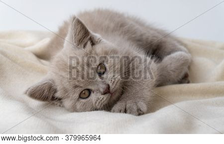 British Shorthair Cat. Cat Smoky Colour. Small Cute Kitten Lies And Looks Forward. 08 August, World