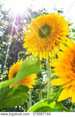 Sunflowers Are Blooming In A Field At Early Fall Sunlight, Beautiful Sunflowers In Garden With Sunbe