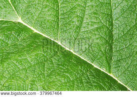 Green Leaf Texture. Natural Enviroment Vibrant Background. Plant Macro Veins Pattern. Vibrant Color
