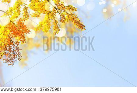 Fresh Yellow Fall Tree Foliage On Pale Blue Sky Background