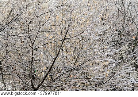 Freeze Rain, Trees Branches Covered By Deep Ice