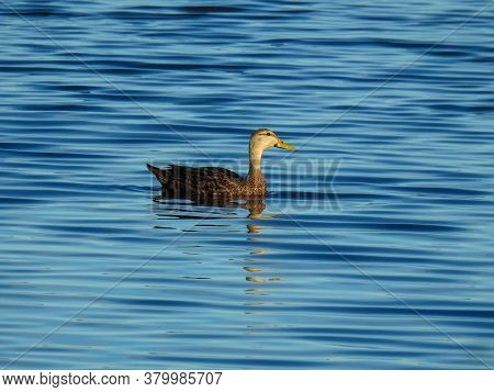 Female Mottled Duck On A Florida Lake