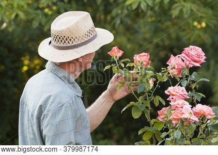 Mature Man Or Gardener Looking At A Pink Rose In Garden