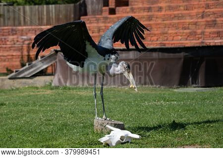 Adult Marabou Stork Eating In Captivity Under Sunlight