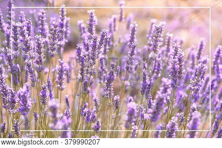 Close-up On Mountain Lavender On Hvar Island In North Dalmatia, Croatia