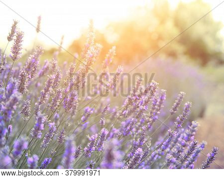 Mountain Lavender On Sunset, Hvari Sland In Croatia