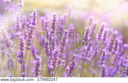 Close-up On Mountain Lavender On Hvar Island In Croatia
