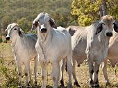 young Brahman cows in herd on rural ranch Australian beef cattle Australia cows for meatindustry poster