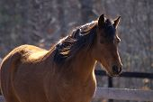 brown arabian horse with stately head shot, warmly backlit. poster