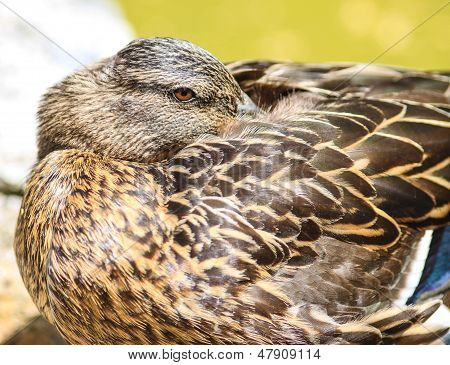 Tired Duck