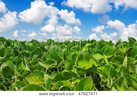 Field Of Young Soybean Plants