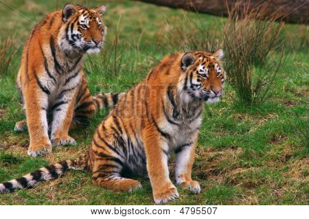 Two Young Siberian Tigers