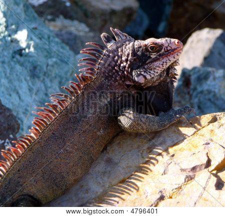 Colorful Island Iguana