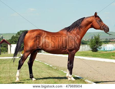 exterior of bay arabian stallion sunny day poster