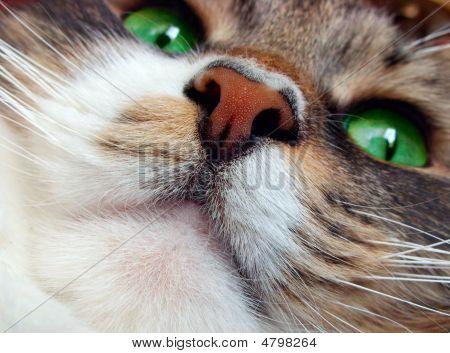 Cat`s Muzzle.
