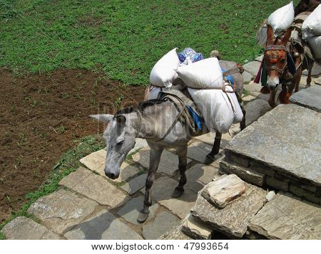 Mules Carrying Goods