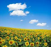 sunflower field over cloudy blue a sky poster