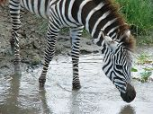 a zebra drinking at a watering hole in tanzania africa poster