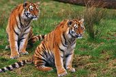 Two young Siberian tigers together in the grass poster