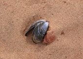 empty mussel shell laying on the sand. poster