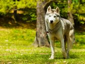 Closeup of attentive Siberian Husky on grass looking to camera poster